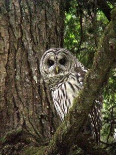 barred_owl 2