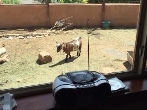 eden, goat