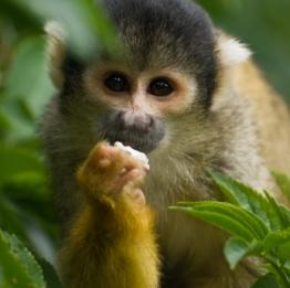 capuchin_monkey